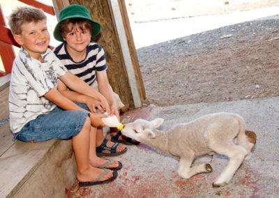 gallery_image_feeding_lambs